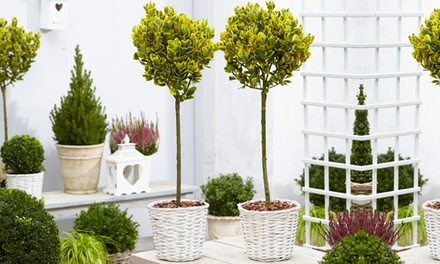 One, Two or Four Euonymous Trees Evergreen Standard Topiary Trees