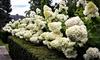 """2er- oder 4er-Set Rispen-Hortensien """"Grandiflora"""""""