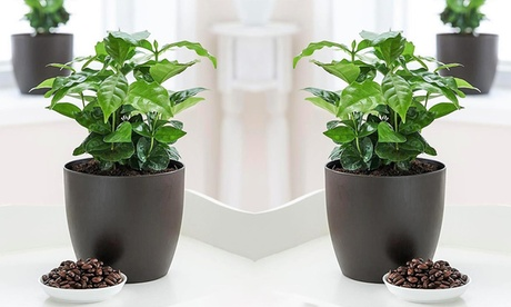 2x oder 4x Kaffee-Pflanze