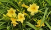 Pre-Order: Stella D'Oro French Daylily Bare Roots (6-, 9-, or 12-Pack)
