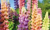 Lupin Russell Hybrids Plants