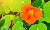 The Dirty Gardener Tropaelomu Majus Nasturtium Wildflower Seeds: The Dirty Gardener Tropaelomu Majus Nasturtium Wildflower Seeds