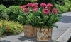 Gerbera Patio Collection of Six Plants