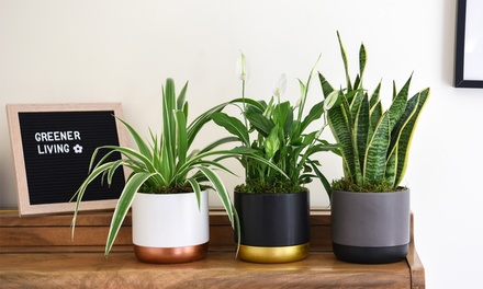 Purifying Houseplant Collecti...
