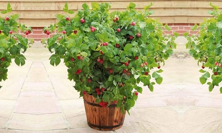 Dwarf Summer-Fruiting Raspberry from £10 With Free Delivery (33% Off)
