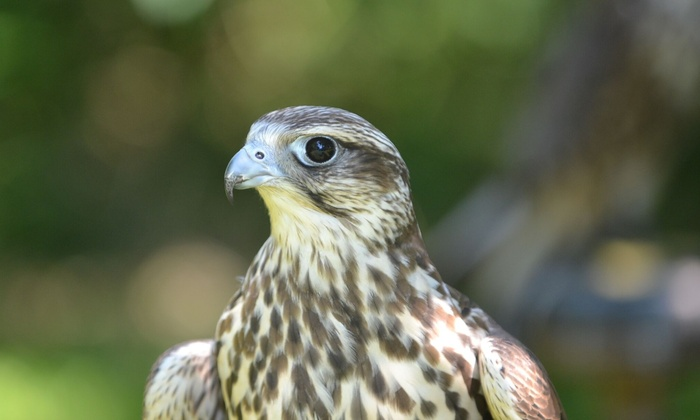 Hawk on the Wild Side - Dorking: 60-Minute Falconry Experience for Up to Four at Hawk on the Wild Side (Up to 51% Off)
