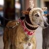 Greyhound Race Entry