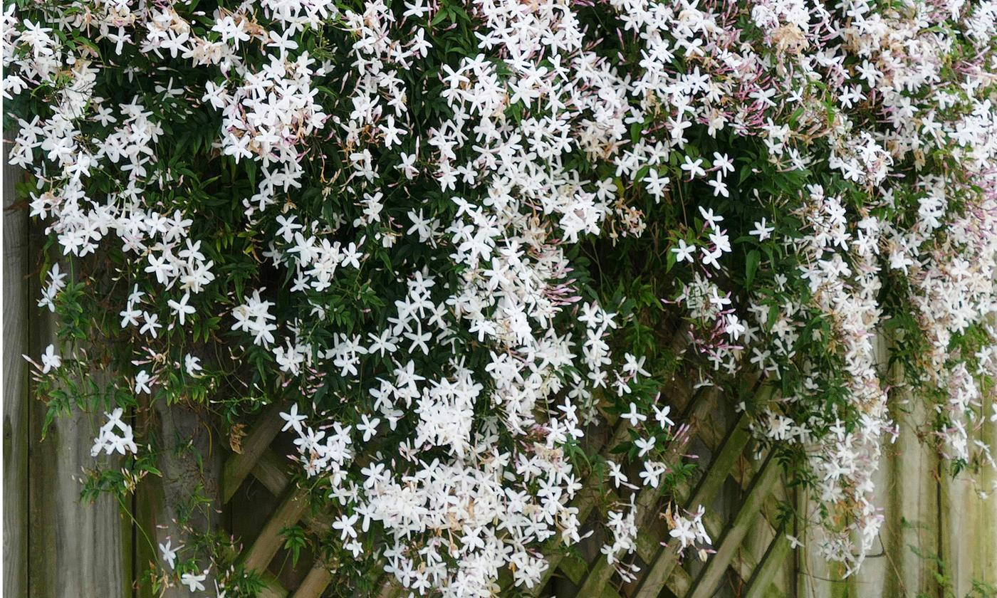 Three or Six Common Jasmine Plants