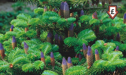 Korean Fir Tree: One £5.99, Two £9.99 or Three £12.99 With Free Delivery
