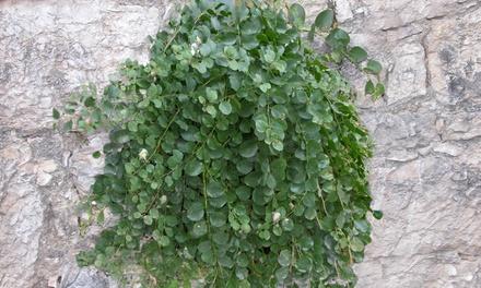 Set 3 o 5 piante del cappero