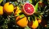 Bloedsinaasappel Citrus Tarocco 100-120 cm