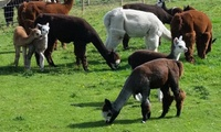 Alpaca Trek for Up to Eight persons at Great Ground Farm (Up to 40% Off)