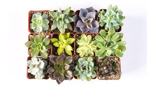 "Handpicked Succulents 2"" Potted Plants (9- or 12-Pack)"