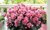 Begonia Elatior 'Frivola Pink' - 3 or 6 Plants
