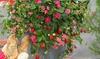 """Plantas de fresa Fragaria """"Roman"""""""