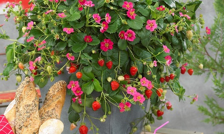 Conjunto de 3 o 6 plantas de fresa Fragaria 'Roman'