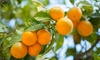 Owari Satsuma Tangerine Citrus Tree Live Potted Plant