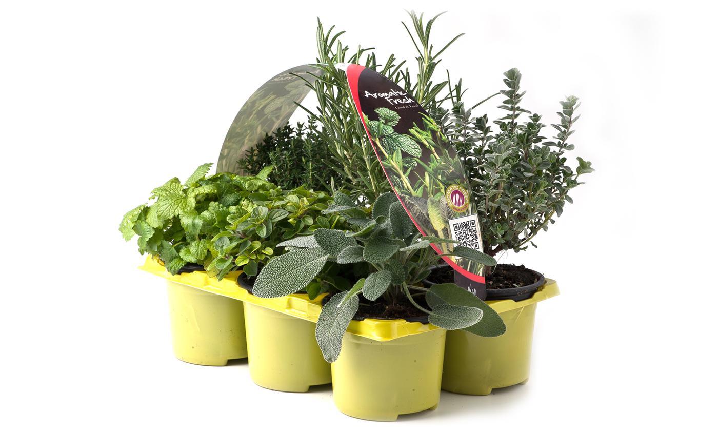Pack of Six Edible Herb Garden Plants