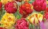 Tulip Colour Carnival Bulbs