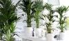 1 ou 2 palmiers Kentia d'intérieur, purificateurs d'air