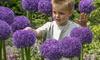 Allium Globemaster Bulbs (3-Pack): Allium Globemaster Bulbs (3-Pack)