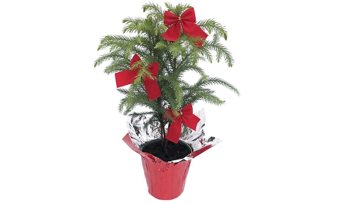 norfolk pine care instructions