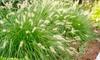 1 o 2 piante di Pennisetum Hameln