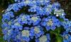 Set van 3 of 6 Hydrangea Teller, gemengde kleuren