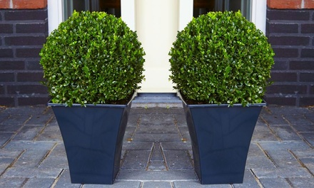 Up to Four Premium Buxus Topiary Balls with Optional Flared Planters from £29.99 With Free Delivery