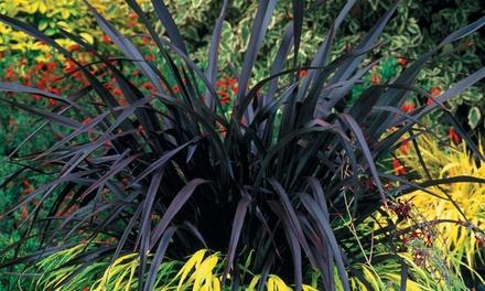 Planten Phormium Black Velvet, geleverd in een pot van 9 cm