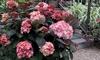 One or Two Hydrangea Miss SaoriPlants
