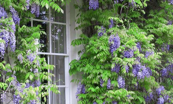 Pianta di glicine 200 cm groupon goods - Prezzi piante da giardino on line ...