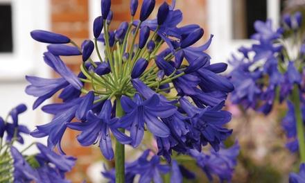 """Agapanthus """"Bloem van de Liefde"""" planten in potten van 9 cm"""