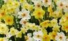 12 or 24 Narcissus Tazetta Bulbs