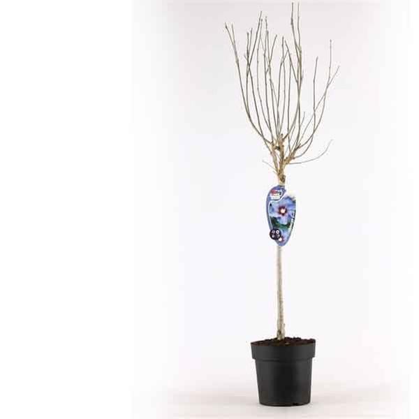 12m Tricolour Hibiscus Tree Groupon Goods