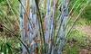 Bamboo Fargesia-Pflanze