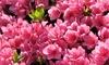 Two or Four Azalea Anouk Plants