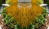 Pianta erba Carex Prairie
