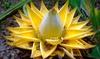 Set di 2 o 4 piante di Musella Lasiocarpa
