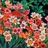Pre-order Tricolor Mix Sparaxis Flower Bulbs (25-Pack)