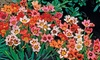 Pre-order Tricolor Mix Sparaxis Flower Bulbs (25-Pack): Pre-order Tricolor Mix Sparaxis Flower Bulbs (25-Pack)