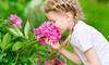 Grand Duchess Lilac Dahlia Flower Bulbs (7-, 14-, or 35-Pack)