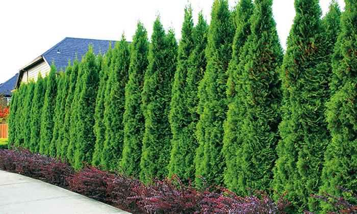 life tree hedge thuja smaragd groupon goods. Black Bedroom Furniture Sets. Home Design Ideas