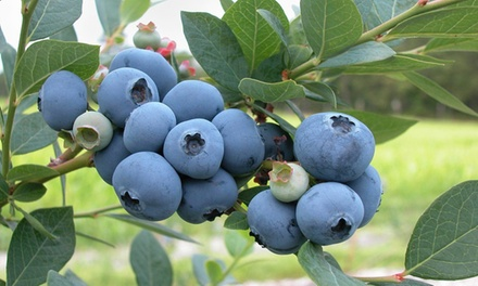 One, Two, Three or Six Blueberry Duke Mature Plants in 1L Pots