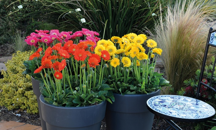 Gerbera Sweet Collection 3 or 6 plants (£9.98)
