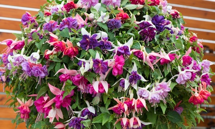 5, 10 or 20 Fuchsia Giant Mixed Plants Collection with Incredibloom 100g Fertiliser and Optional Hanging Basket