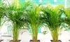 Set 2 piante: Parlor Palm e Areca Palm