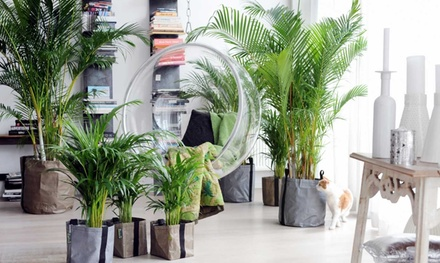 Two or Four Areca Palm Trees