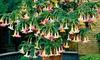 Mix van 3 gekleurde Brugmansia-planten