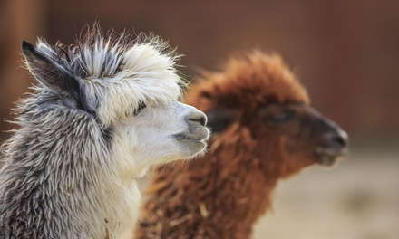 Alpaca Experience and Cream Tea for Two or Four at Willow Tree Family Farm